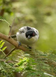Black-backed Puffback - Londolozi Game Reserve