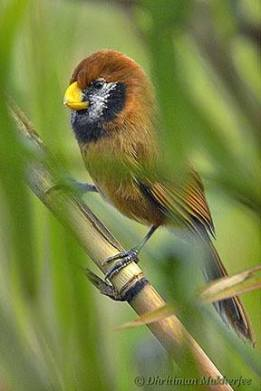 Black breasted Parrotbill