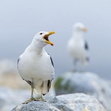 Calling Kelp Gull near its breeding colony. Malgas Island, West Coast National Park, South Africa.
