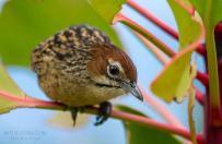Cape Grassbird was photographed by Kyle de Nobrega.