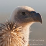 Cape Vulture portrait. De Hoop Nature Reserve, Western Cape, South Africa.
