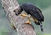Check this eagle's talons ! Harpy Eagle (South America)