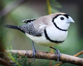Double-barred Finch - An estrildid finch found in dry savanna tropical - lowland - dry grassland and scrubland habitats in northern and eastern Australia