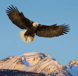 Eagle hovering