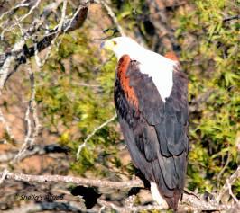 Fish Eagle (3)