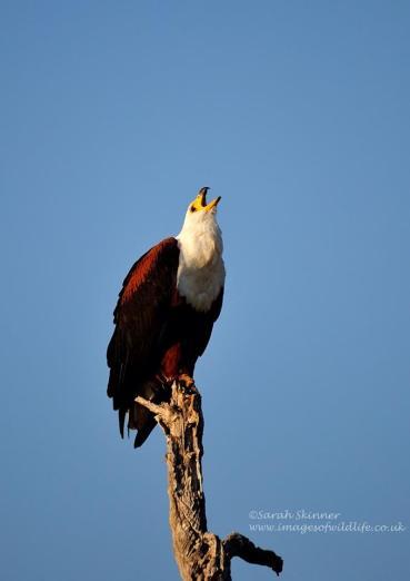 Fish Eagle - Sarah Skinner