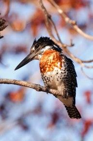 Giant-kingfisher