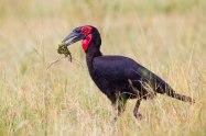 Ground Hornbill with chameleon - Isak Pretorius Wildlife Photography