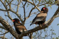 Like the African Hawk Eagles, Bateleur eagles will also form monogamous pairs