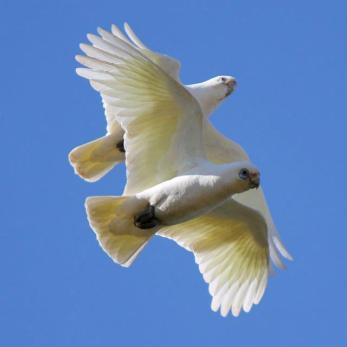 Little Corella BY Peter Styring