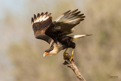 Northern Crested Caracara by Christian Sanchez