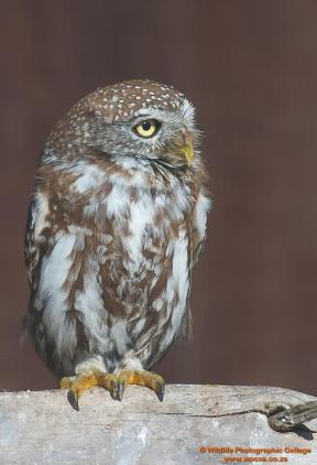 Pearl Spotted Owlet....