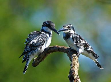 Pied Kingfisher pair