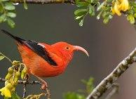 Scarlet Honeycreeper