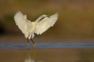 Snowy Egret - Egretta thula - in Chile by Osvaldo Larrain.