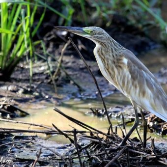 Squacco Heron looking for frogs at Phinda by Andrew Nicholson