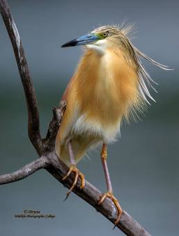 Squacco Heron....