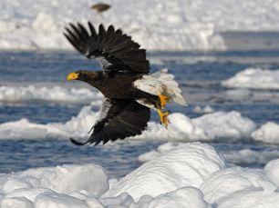 stellers-sea-eagle-japan_31794_990x742