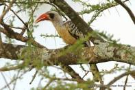 Tanzania Red-billed Hornbill