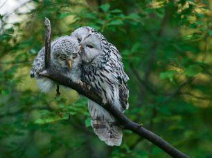 ural-owl-chick-zacek_58934_990x742