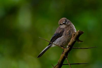 White-eyed Slaty Flycatcher - Dioptrornis fischeri imm © by Paweł Bujanowizc