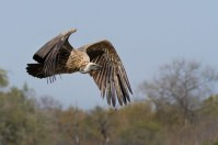 Whitebacked vulture