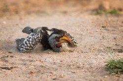 Yellowbilled Hornbill sandbathing