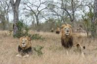 All four Majingilane males trailing a large herd of buffalo.