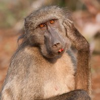Chacma baboon taking a break from feeding to have a good scratch. Mkhuze Game Reserve, KwaZulu Natal, South Africa