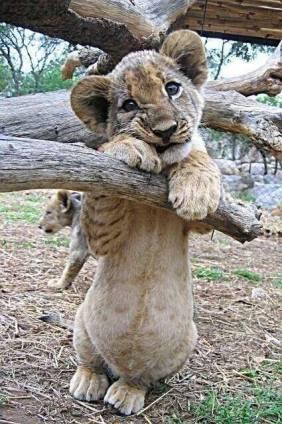 Full-bellied cub