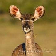Inquisitive Kudu cow in beautiful dusk light. Addo Elephant National Park, Eastern Cape, South Africa.