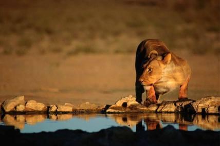 Lioness at waterhole