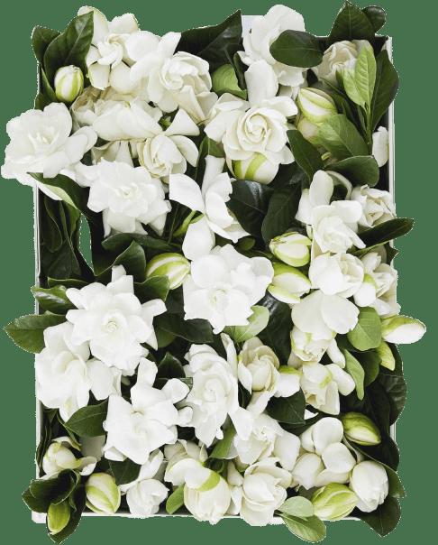 High Camp 100 fresh-cut gardenias