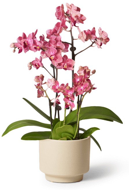 The Sill Fuschia orchid