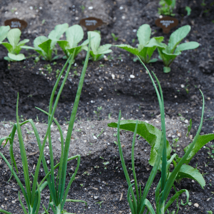 sprouts in soil