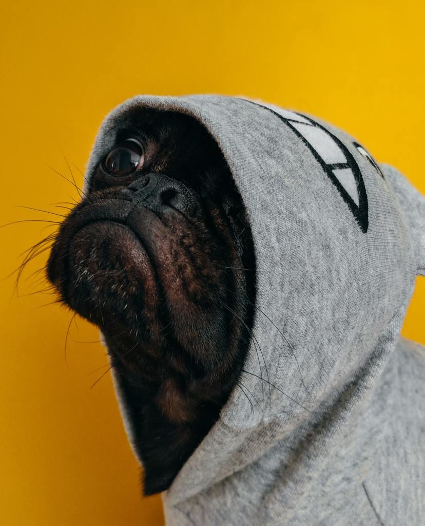 sad black pug dog wearing a hoodie
