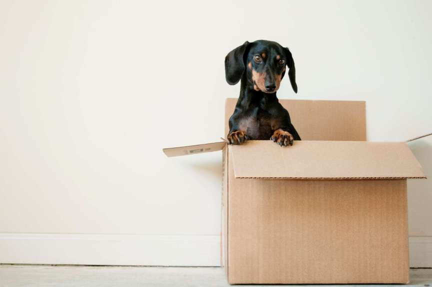 Dachshund puppy popping out of brown cardboard box