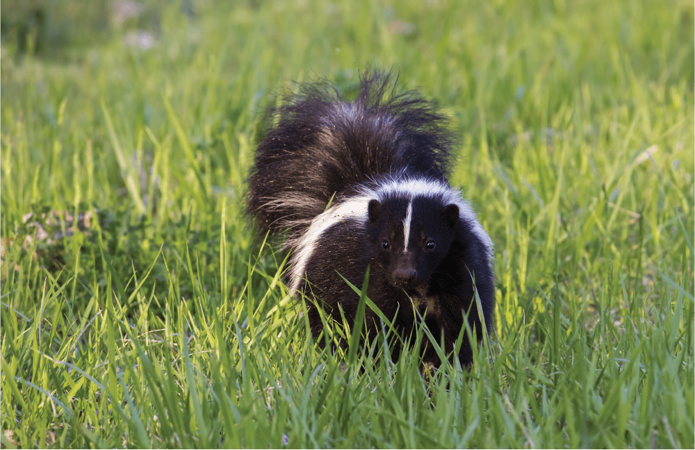 Our Furry Smelly Friend…The Skunk