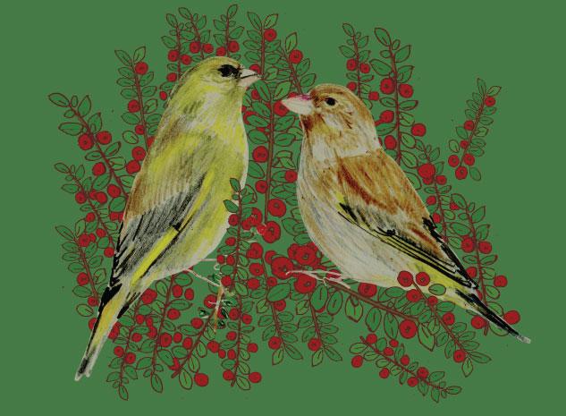 cotoneaster-bush_greenfinch_Naturama_Melissa-Doran