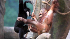 Gibbon and orangutan at play