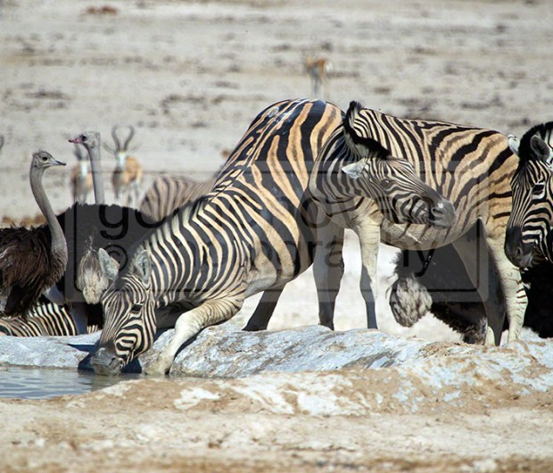 Zebra's drink from Newbrownii waterhole