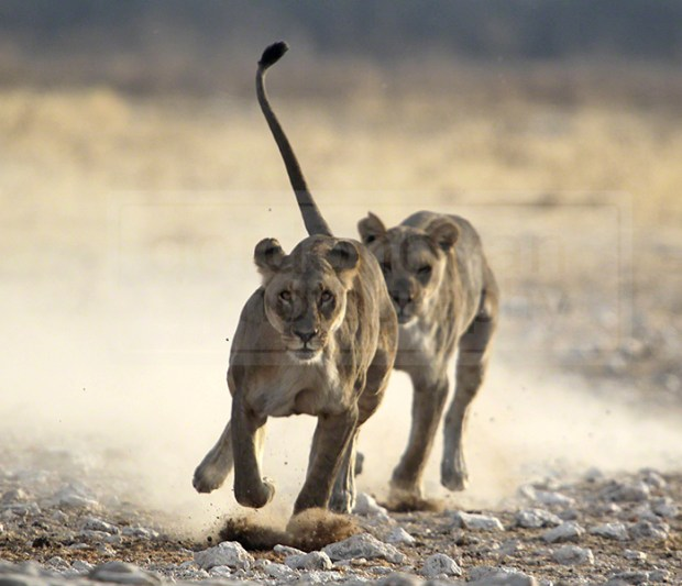 Young lions chase each other