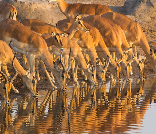 Chudob waterhole is filled with impalas