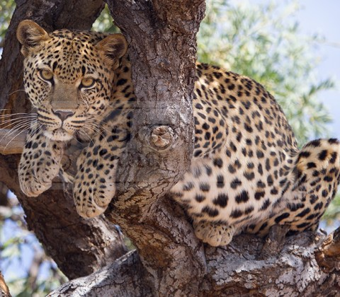 Leopard sits in a tree