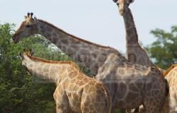 Several giraffes enjoy lunch