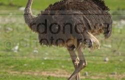 An ostrich stands still