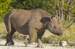 Rhino heads to waterhole