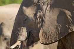 A profile of an elephant