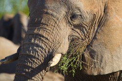 An elephant eats in the grass