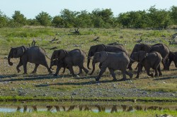A herd of elephant's head towards the Olifantsbad Waterhole